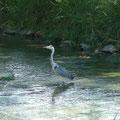 ... und Fischreiher im Rheinkanal