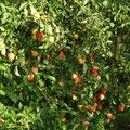 Äpfel locken am Wegesrand