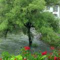 Etwas viel Wasser im Rhein heute - Bäume unter Wasser