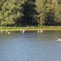 Viel Natur am Niederrhein: Fischreiher an einem Teich
