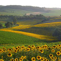 paysage de champs de tournesols près des Gites des Camparros à Nailloux