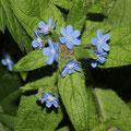 Blauroter Steinsame Buglossoides purpurocaerulea