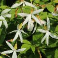 Dreiblattspiere Gillenia trifoliata