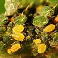 Röhrenläuse Überfamilie Aphidoidea