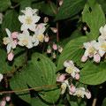Kalmiendeutzie Deutzia kalmiiflora cf.