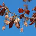 Blutbuche-Fagus silvatica f. purpurea