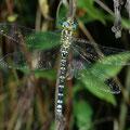 Blaugrüne Mosaikjungfer jung, unausgefärbt Aeshna cyanea