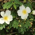 Dünenrose Rosa pimpinellifolia