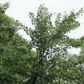 Ginkobaum-Blätter Ginko biloba