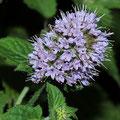 Minze-Wasser-Heilpflanze