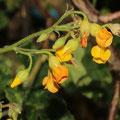 Hermannia incana