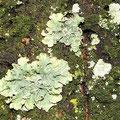 Flechten: Lecanora expallens u.Lepraria incana