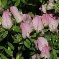 Dorniger Hauhechel (Ononis spinosa)