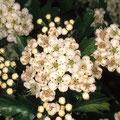 Weißdorn-Heilpflanze