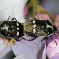 Kohlwanzenpaarung Eurydema oleraceum