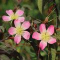 Rotblatt-Rose-Rosa glauca