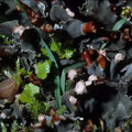 Flechten: Peltigera didactyla Schildflechte