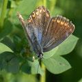 Bläuling-Hauhechel Polyommatus icarus