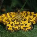 Leopardenfalter Pseudopanthera macularia