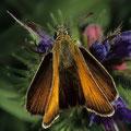 Dickkopffalter-Schwarzkolbiger-Thymelicus lineola