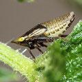 Käferzikadenlarve Issus coleoptratus