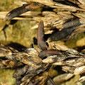 Secale cornutum Sclerotium von Claviceps purpurea