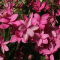 Garten-Grasstern (Rhodohypoxis baurii)