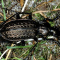 Körniger Laufkäfer Carabus granulatus
