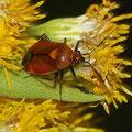 Rote Weichwanze Deraeocoris ruber