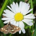 Titanio pollinalis Kleinschmetterling
