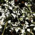 Flechten: Cladonia convoluta