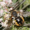 Große Wollbiene Anthidium manicatum