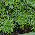 Wasserfeder-Hottonia palustris