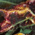 Puccinia urticata Brennnesselrost