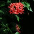 Hibiscus schizopetalus - Koralleneibisch