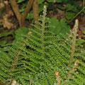 Grannen-Schildfarn (Polystichum setiferum