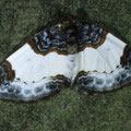 Mesoleuca albocillata