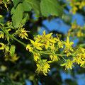 Blasenbaum-Blüten-Koelreuteria paniculata