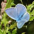 Bläuling-Himmelblauer Lysandra bellargus
