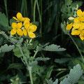 Schöllkraut-Heilpflanze