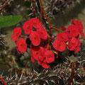 Christusdorn Euphorbia milii