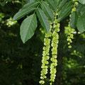 Kaukasische Flügelnuss Pterocarpa fraxinifolia