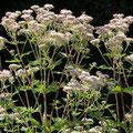 Wasserdost-Heilpflanze