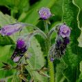 Beinwell-Heilpflanze