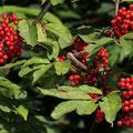 Holunder-Trauben-Roter-Frucht