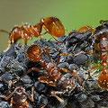 Schwarze Bohnenlaus Aphis fabae u. Ameisen der Fam. Formicidae