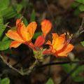 Flame Azalea Rhododendron calendulaceum
