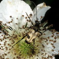 Gefleckter Blütenbock Pachytodes cerambyciformis