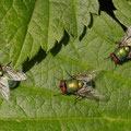 Goldfliegen-Lucilia caesar
