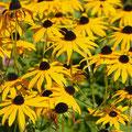 Sonnenhut-Heilpflanze